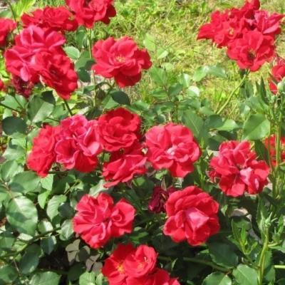 Роза канадская парковая Хоуп оф Хьюманити