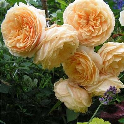 Роза английская парковая Тизинг Джорджия